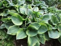 Hosta 'Fool's Gold'  Plantain Lily plant