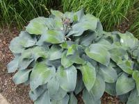 Hosta 'Devon Blue'  Plantain Lily plant