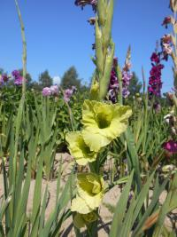 Gladiolus 'Green Star'  Gladiolus flowers