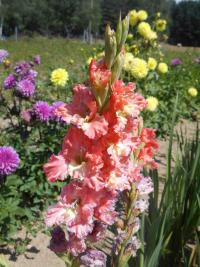Gladiolus  'Frizzled Coral Lace'  Gladiolus flowers