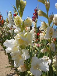Mečík White Cross (Gladiolus)
