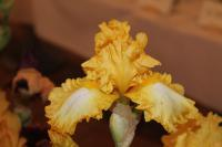 Iris barbata  'Warm Wishes'  Bearded Iris flowers