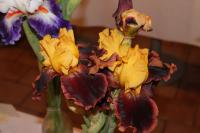 Iris barbata  'Ancient Echoes' - Bearded Iris