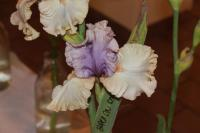 Iris barbata  'Back On Stage'  Bearded Iris flowers
