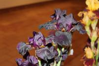 Iris barbata  'Old Black Magic'  Bearded Iris flowers