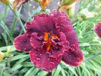 (Hemerocallis hybrida) Denivka Night Embers