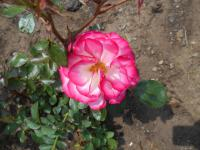 Rosa 'Nicol'  Rose plant
