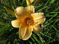 Denivka Picture Hat (Hemerocallis hybrida)