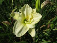 Hemerocallis 'White Temptation'  Daylily flowers