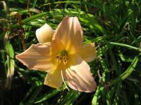 Hemerocallis 'Nob Hill'  Daylily flowers