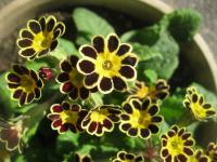 Primula elatior  'Mr Gold Laced' - Oxlip