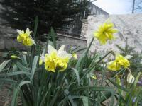 Narcissus  'Belcanto' - Daffodil