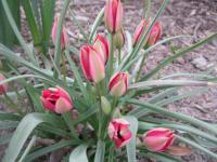 Tulipa hageri  'Little Beauty' - Tulip