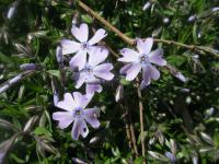 Phlox subulata 'Emerald Cushion Blue'  Moss Phlox plant