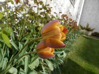 Tulip Tulipa  'Brown Sugar'