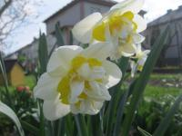 Narcissus    'White Lion'  Daffodil flowers