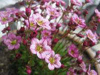 Saxifraga x arendsii   Rockfoil flowers