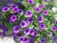 Calibrachoa   - Mini petunia