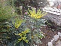 Mahonia Mahonia x media   'Winter Sun'