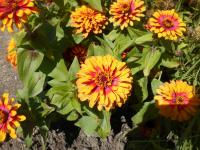 Youth-and-age Zinnia elegans  'Swizzle Scarlet and Yellow'