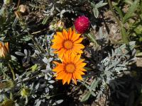 Gazania rigens   'Kiss Orange'  Treasureflower plant