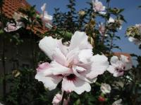 Hibiscus syriacus   'Lady Stanley'  Rose of Sharon flowers