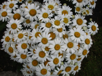 Kopretina velkokvětá Snow Lady (Leucanthemum maximum)