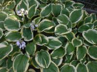 Hosta 'Mildred Seaver'  Plantain Lily plant