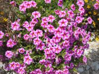 Calibrachoa  'Callie Star Pink' - Mini petunia