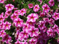 Calibrachoa    'Callie Star Pink'  Mini petunia flowers