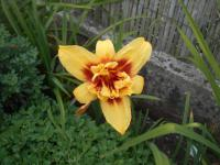 Hemerocallis 'Double Happines'  Daylily flowers