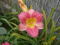Hemerocallis 'Final Touch'  Daylily flowers