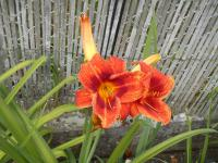 Hemerocallis 'Holiday Delight'  Daylily flowers