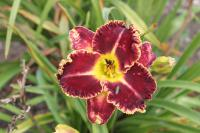 Hemerocallis 'Born to Run'  Daylily flowers