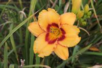 Hemerocallis hybrida 'Two Part Harmony'  Daylily flowers