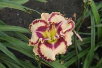 Hemerocallis hybrida  'Born to be Wild' - Daylily