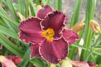 Hemerocallis hybrida  'Buddy's Black Lady' - Daylily