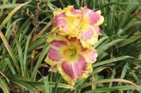 Hemerocallis hybrida  'Sweet Cotton Candy' - Daylily