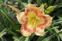 Hemerocallis hybrida  'Tumbled Glass' - Daylily