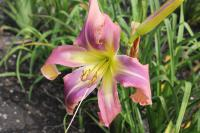 Denivka Twirling Tower (Hemerocallis hybrida)