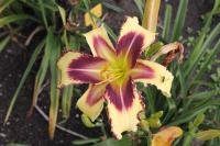 Hemerocallis hybrida  'Dimensional Shift' - Daylily