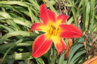 Hemerocallis  'All American Chief' - Daylily