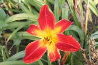 Hemerocallis  'All American Chief'  Daylily flowers