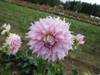 Dahlia      'Almands Joy'  Dahlia flowers