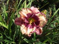 Denivka Regal Amethyst (Hemerocallis hybrida)