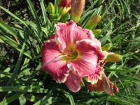 (Hemerocallis hybrida) Denivka The Big Picture