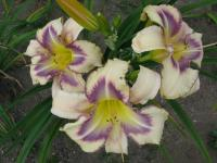 Hemerocallis   'Destined To See'  Daylily flowers