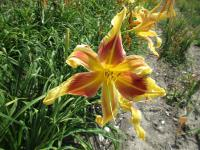 Hemerocallis 'Lady Neva'  Daylily flowers