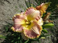 Hemerocallis 'Spacecoast Southern Belle'  Daylily flowers