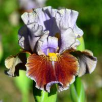 Iris  'Man's Best Friend' - Iris